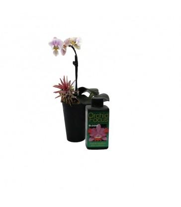 orchid focus bloom 100
